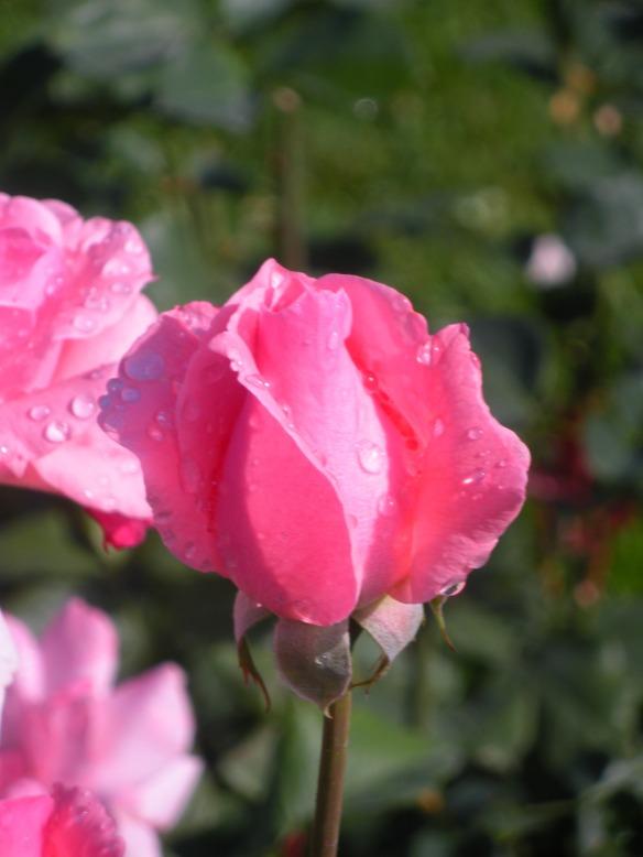Queen Elizabeth Roses