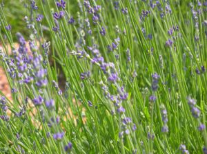 lavender for sachets