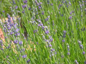 lavender for sachets