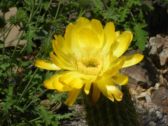 It isn't the Yellow Rose of Texas, but a yellow cactus bloom in the Arizona springtime is a close second.