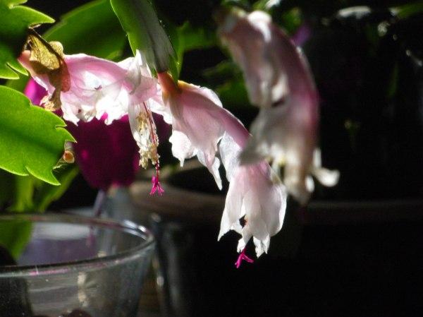 DSCN8461 Pink Saturday, cactus, late November