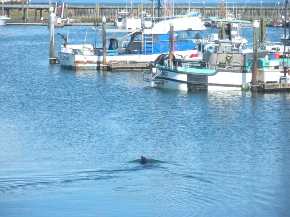 A harbor seal checks out the fishing boats when they dock.