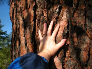 If you sniff the bark of the Ponderosa Pine, you might just detect the scent of vanilla or butterscotch.