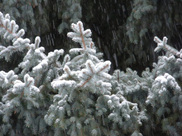 Snow falling on cedars Blue Spruce