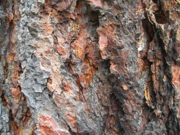 Ponderosa Pine tree bark (close-up)