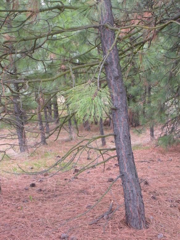 Spring is coming 015 Ponderosa Pine grove