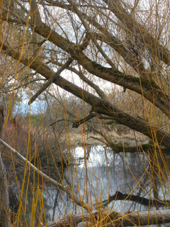 Spring is coming 021 Willow in pond