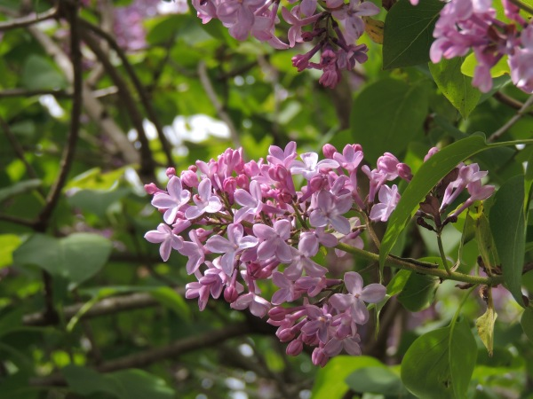 2013 May 004 Lilac Bloomsday