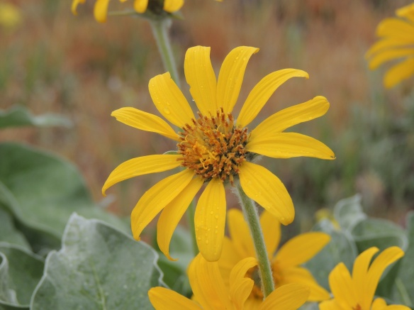 Common name(s): sunflower, arrowleaf balsamroot. Scientific name: Balsamorhiza sagittata.