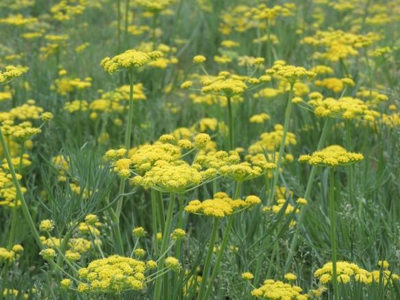 Common name: narrow-leaf desert parsley.  Scientific name: Lomatium triternatum.