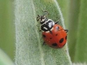 2013 May 128 ladybug on Arrowleaf Balsamroot plant