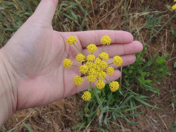 narrow-leaf desert parsley   (This was shown in the field of yellow flowers on Monday.)