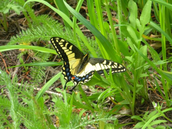 2013 May 186  butterfly