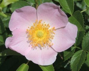 487, cropped pink wild rose