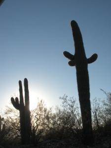 Back-lit Saguaro