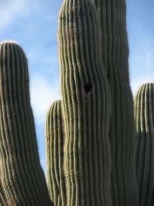 Saguaro provides a home for the birds