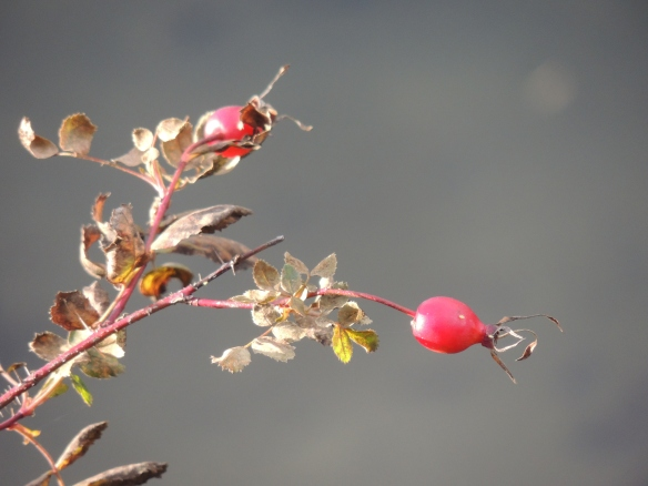 DSCN2311  Rose hips