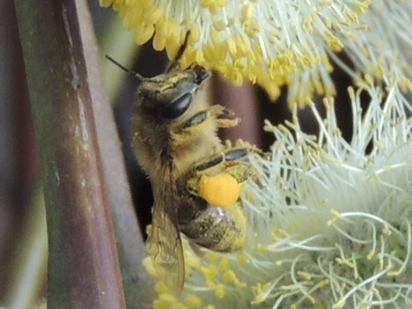 Y is for Yellow, the color of pollen for this happy bee. Note the full pollen sac