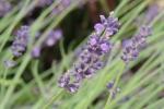 DSCN3752  Lavender, cropped pic 4x6