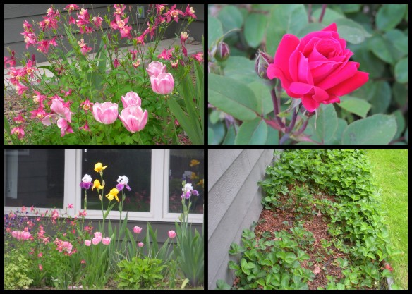 Clockwise from top right: small rose bush, strawberry patch, back garden with baby hydrangeas, iris, columbine and tulips
