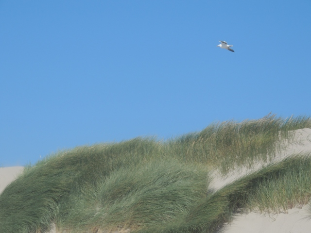 DSCN3870 resized for websharing,  bird flies UP over sand dunes