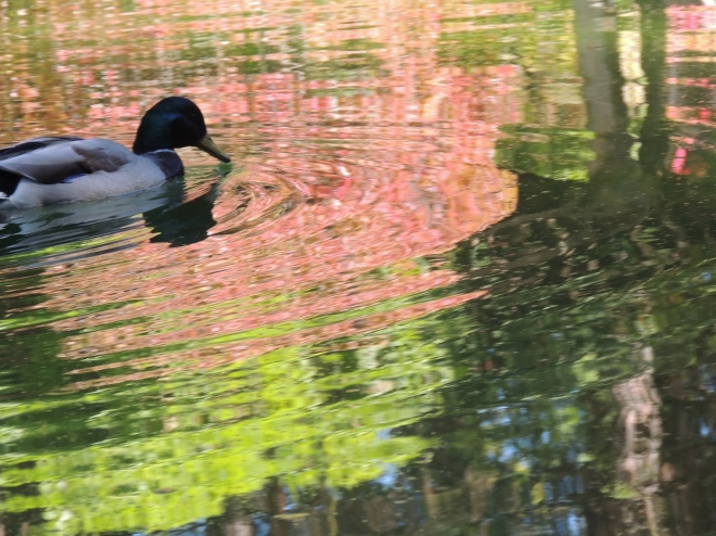 A duck swims in the pond, creating a pattern of ripples that turn the reflection of autumn leaves into streams of copper water.