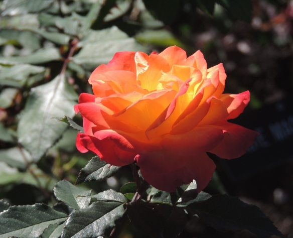 """Autumn Splendor"" rose"