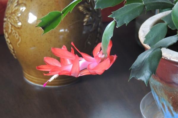 DSCN5505 Cactus in bloom