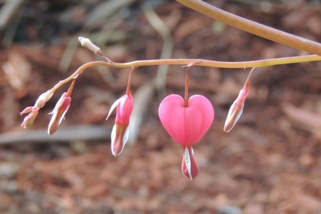 DSCN5775 bleeding HEART