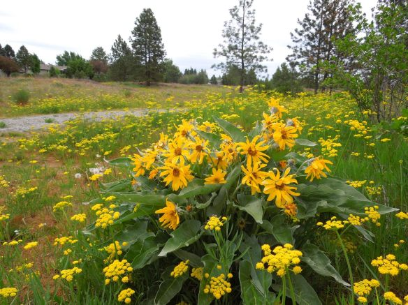 Arrowleaf Balsamroot in the park near my home -- photo by KCINNOTX