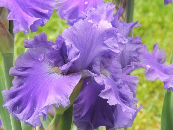 DSCN6030 purple iris on a stormy day