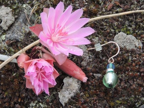 Bitterroot, AKA rock roses