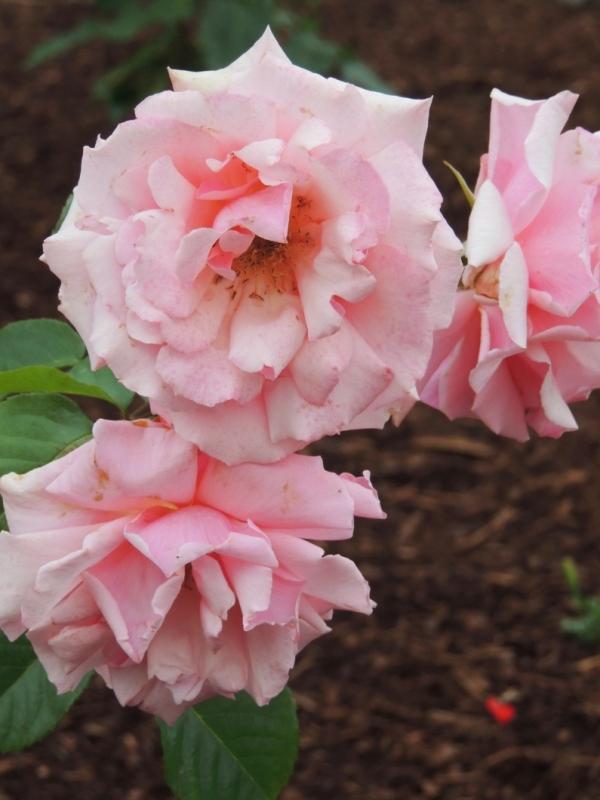 DSCN6074 resized for web-sharing, pink roses, tweaked
