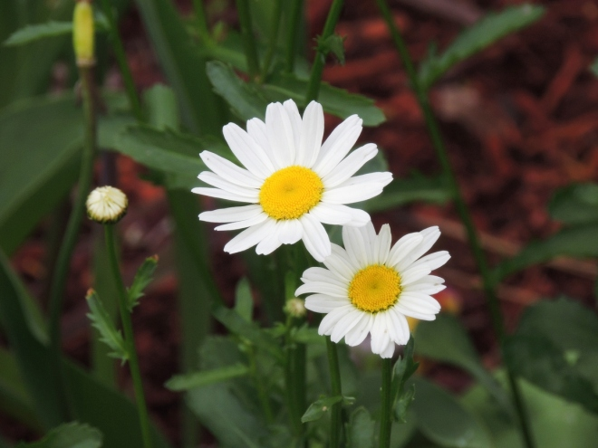 DSCN6080 Resized for web-sharing, daisies, tweaked