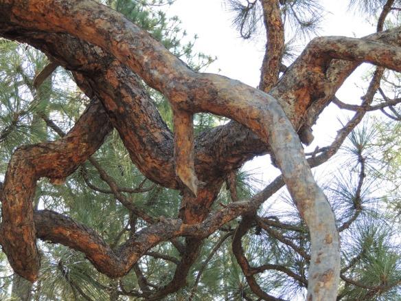 Ponderosa pine by the river