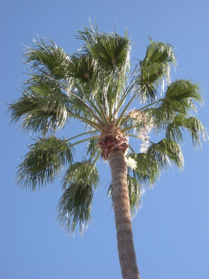 DSCN1449 web-sized palm tree, Tucson, Arizona