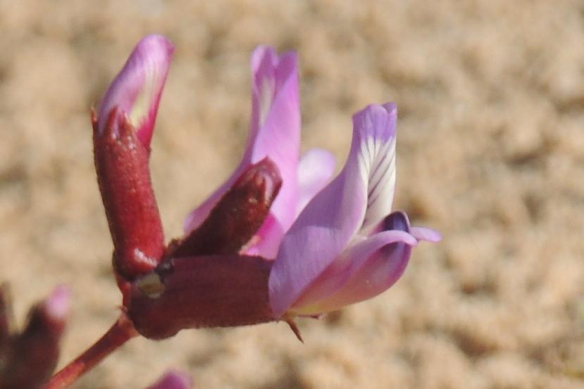 RSCN7944  desert flower, 4x6