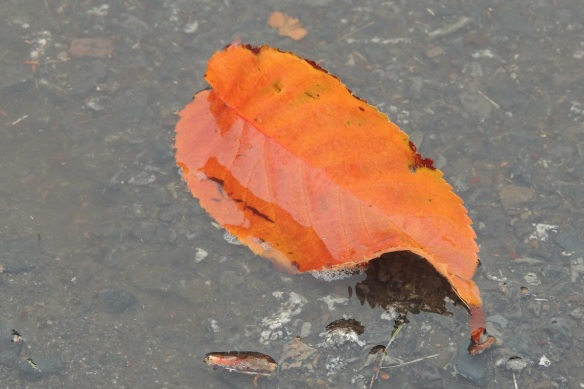 Leaf in Puddle 4x6, resized
