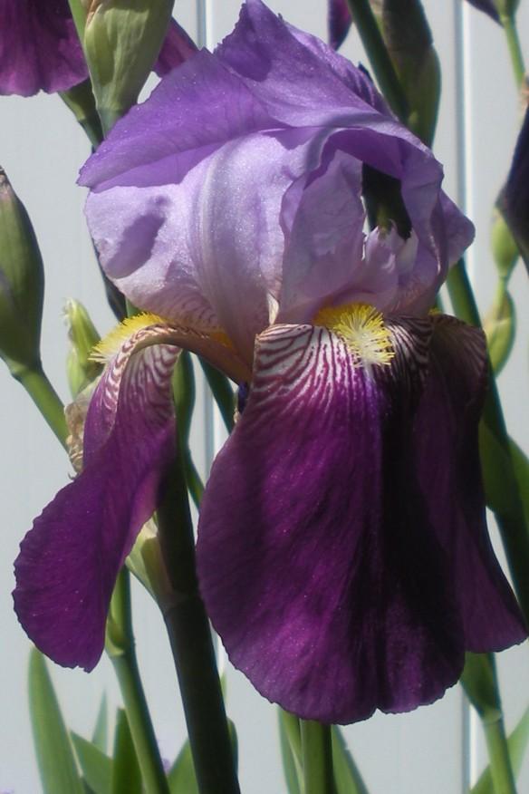 DSCN3460 Iris close-up, 4x6